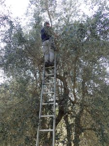 look mom - no hands! olive picking in Tuscany